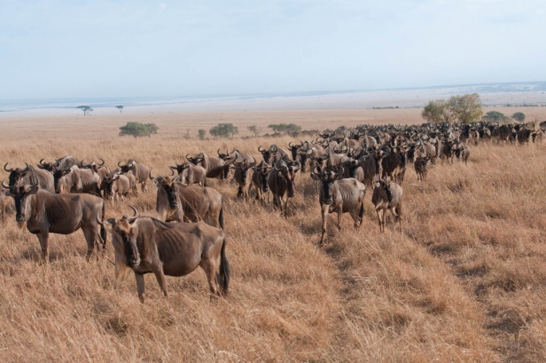 This line of thousands of wildebeest at the Maasai Mara had travelled thousands of miles in search of pasture.